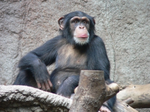Common chimpanzee, Leipzig Zoo